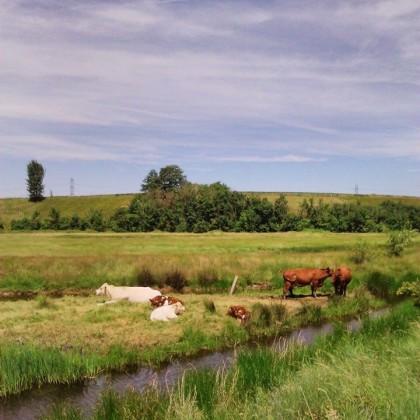 Cows, Oare