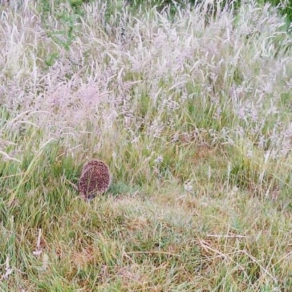 Mrs Tiggywinkle scurries across the path
