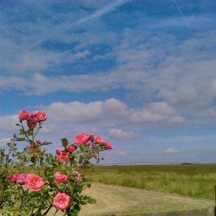 Roses in the garden and the Sheppey Crossing